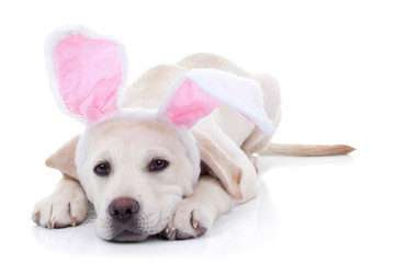 Easter bunny puppy dog animal in bunny ears