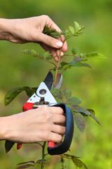 pruning rose by pruning shears