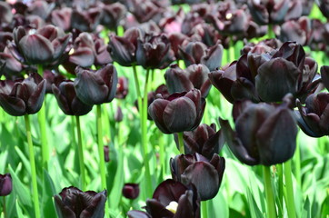 "Black tulips also called ""Queen of the Night"" in the beautiful garden of Keukenhof from Lisse, Holland"
