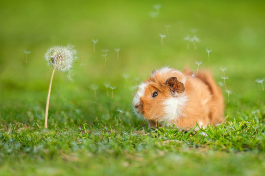 Guinea pig and dandelion with blowing seeds in the wind