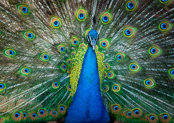 Peacock with beautiful feathers fanned