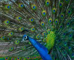Peacock showing it's beautiful feathers and profile