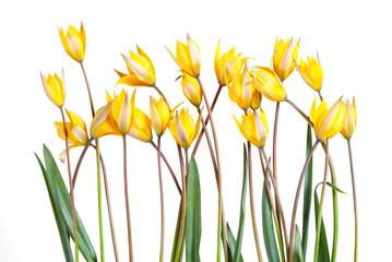 Wild yellow tulip flower