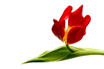 Red tulip with a leaf isolated on white background