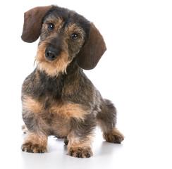 miniature wirehaired dachshund