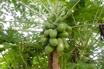 Papaya on the papaya tree