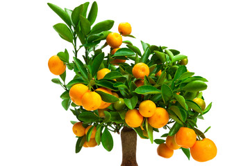 small tangerine tree
