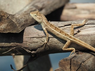 Lizard On Log