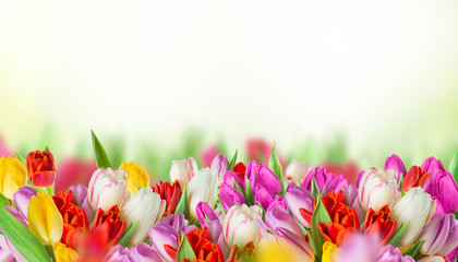 Colorful tulips on white background.