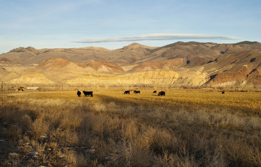 Cattle Grazing Ranch Livestock Farm Animals Western Mountain Lan