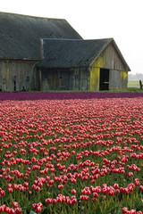 Barn in the Tulip Fields
