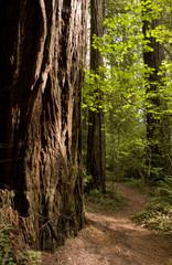 Sun Hits Trail Redwood Forest Path