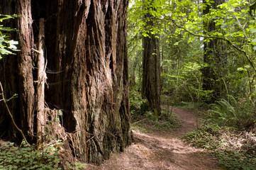 Sun Hit Trail Redwood Path