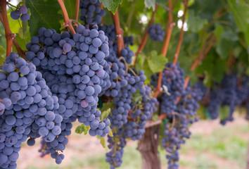 Grapes on the Vine Long Horizontal Row of Sweet Ripe Fruit