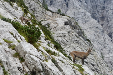 Capricorn in the montains, Julian Alps