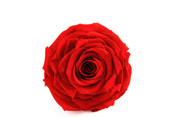 Single Red Rose on the isolated background