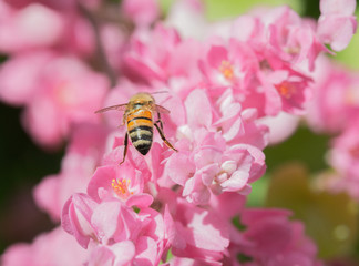 Rear view of honey bee pollinating pink flowering vine