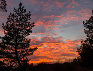 Conifer tree on the background of pink clouds.