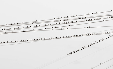 birds on the wires black and white