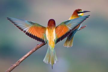 Bee-eater landing