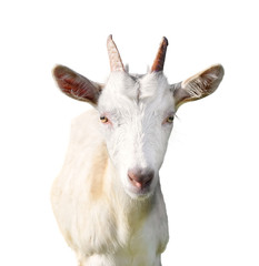 Close-up of a goat