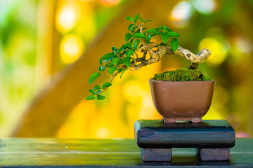 Foto op Plexiglas Bonsai Close up shot bonsai on bokeh background