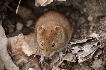 bank vole in the forest between leaves, Myodes glareolus