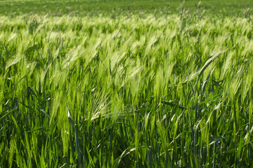 field of fresh green barley in spring