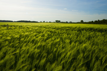 field of fresh green barley in spring