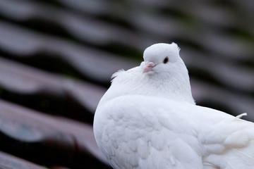 Schweizer Taube