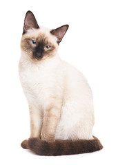Thai Cat Portrait