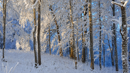 Snow and rime covered forest with blue sunset illumination in background