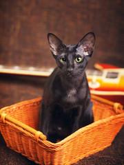 Black Oriental Shorthair Cat Portrait