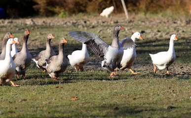 Flock of goose looking runs around on poultry farm