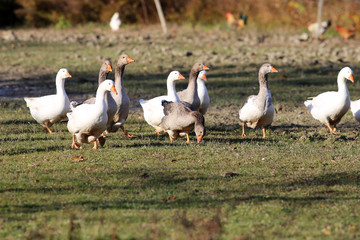 Grey and white domestic goose on poultry farm
