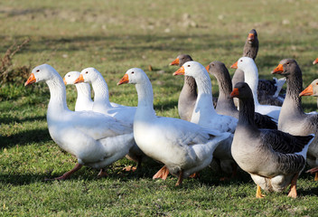 Group of white domestic geese on the poultry farm