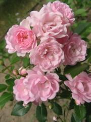 Pink rose in the garden ,Floribunda