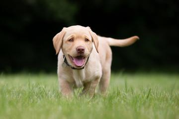 Happy and smiling labrador retriever puppy