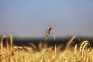 Getreide Weizen gesund