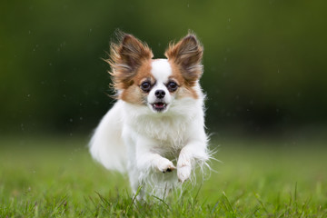 Papillon dog outdoors in nature