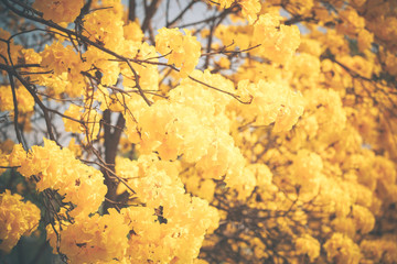 Yellow tabebuia flower blossom