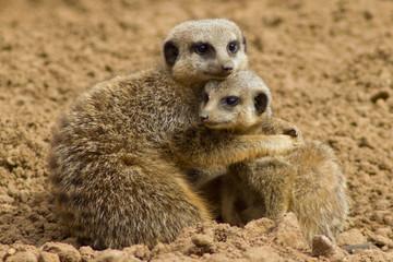 Meerkat cuddle