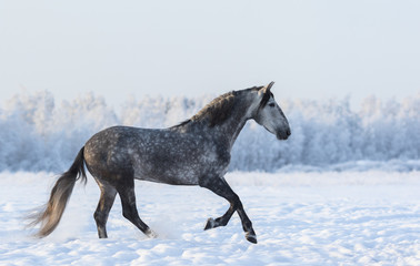 Wall Mural - Gray Andalusian horse cantering on meadow in fresh snow