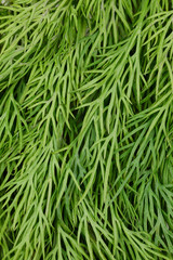 Texture of fresh dill