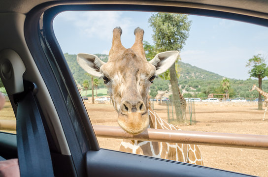 Hungry giraffe waiting for food through a car window