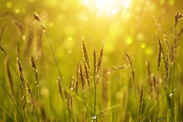 wild grass in sunset counterlight