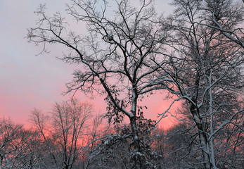 pink dusk sky behind snow covered tree branches in winter