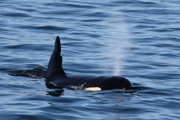 Killer Whale Surfacing