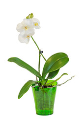 White branch orchid  flowers, vase, flowerpot, Orchidaceae, Phalaenopsis known as the Moth Orchid, abbreviated Phal.
