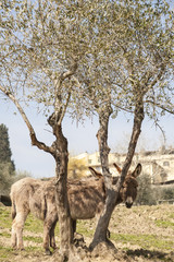 The donkey and the olive tree
